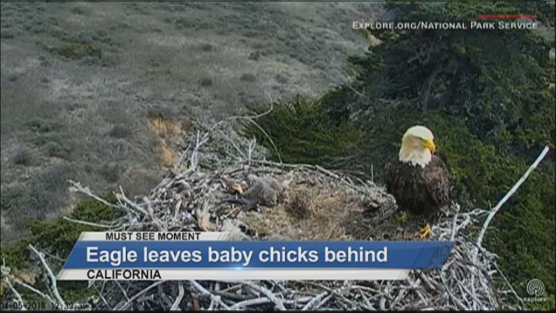 MUST SEE: Eagle leaves baby chicks behind