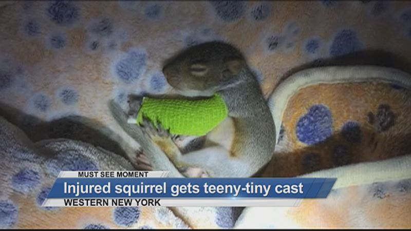 MUST SEE: Injured squirrel gets teeny-tiny cast