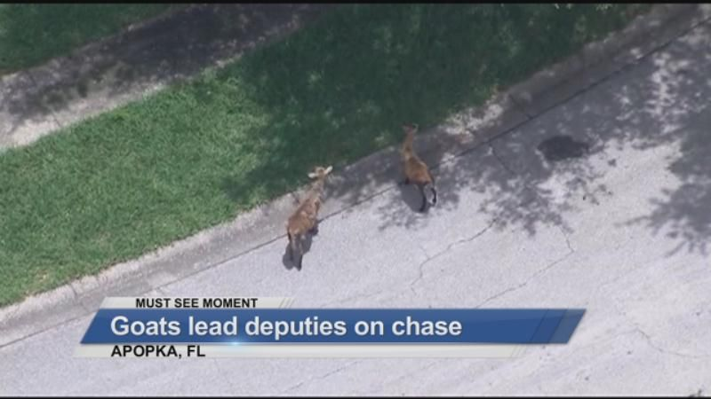 MUST SEE: Goats lead deputies on chase