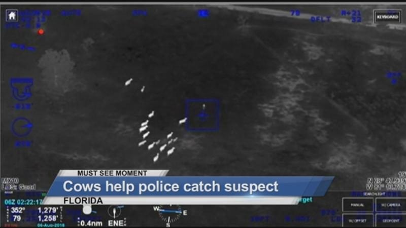 MUST SEE: Cows help police catch suspect