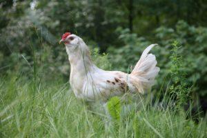 poule dans les herbes