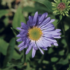 Aster des Alpes 'Happy End'