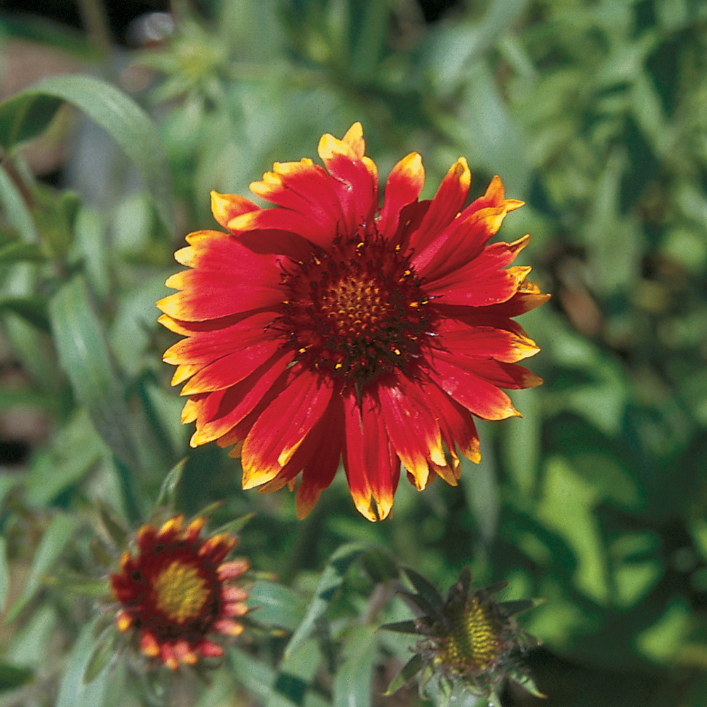 Gaillarde 'Arizona Sun'