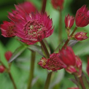 Astrance 'Ruby Wedding'