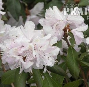 Rhododendron 'April Dawn'