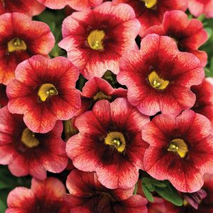 Calibrachoa Superbells® Coralberry Punch™
