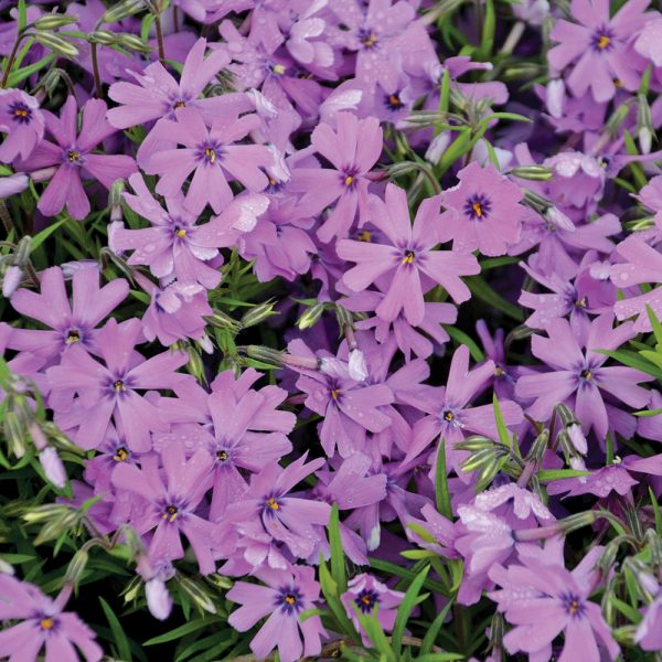 Phlox rampant 'Purple Beauty'