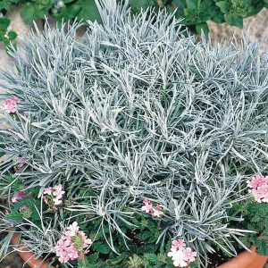 Hélichrysum 'Icicles'