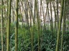 Bamboo Plantings; Blue Lake County in Chongqing by Ekistics Is a 600-Unit Villa Community Located in a Semi-Tropical Climate Where It Is Necessary to Cool Outdoor Spaces With Lush Plantings.