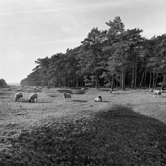 As There are Still Many Unexploded Ordinances Within the Preserved Battlefield, Grazing Livestock Provide a Relatively Safe Alternative to Lawnmowers.