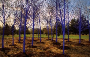 Otherwise ordinary trees in Richmond, British Columbia, captivate with a brilliant blue hue, which will gradually fade over time.