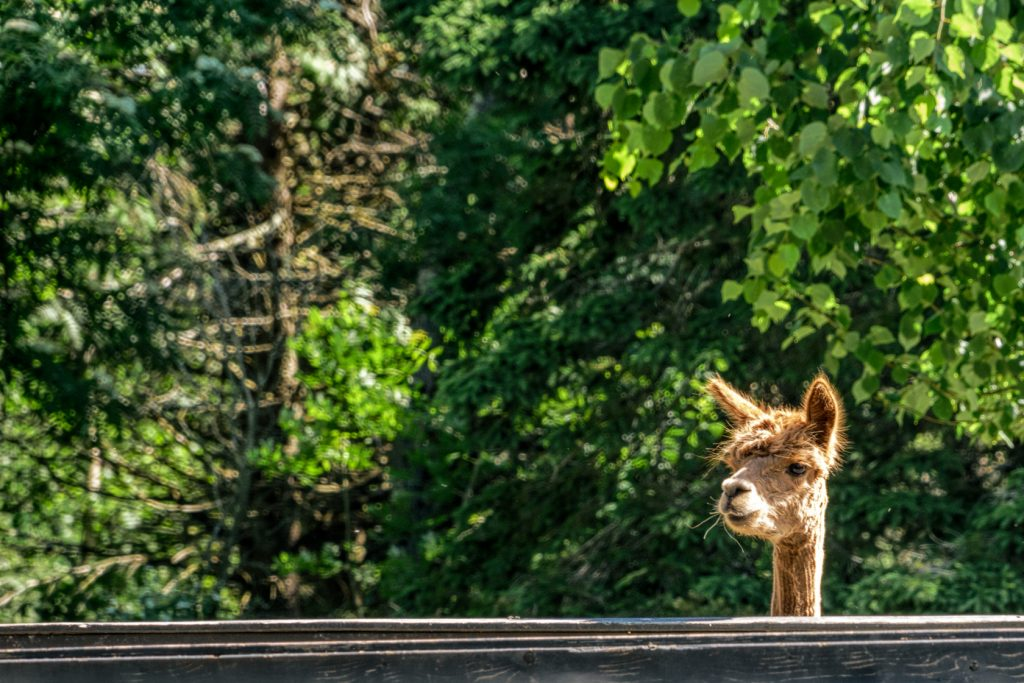 An alpaca on the Kingsbrae Horticultural Garden Inc.