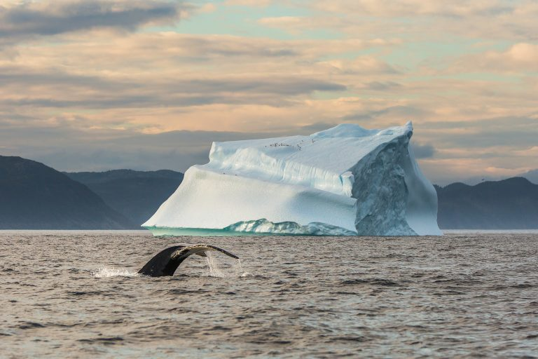 A whale breaching in front of a large, picturesque iceberg in Newfoundland