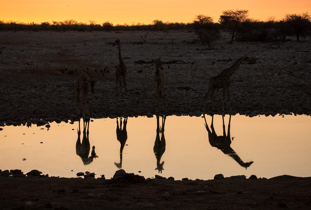 giraffe water hole etosha national park namibia