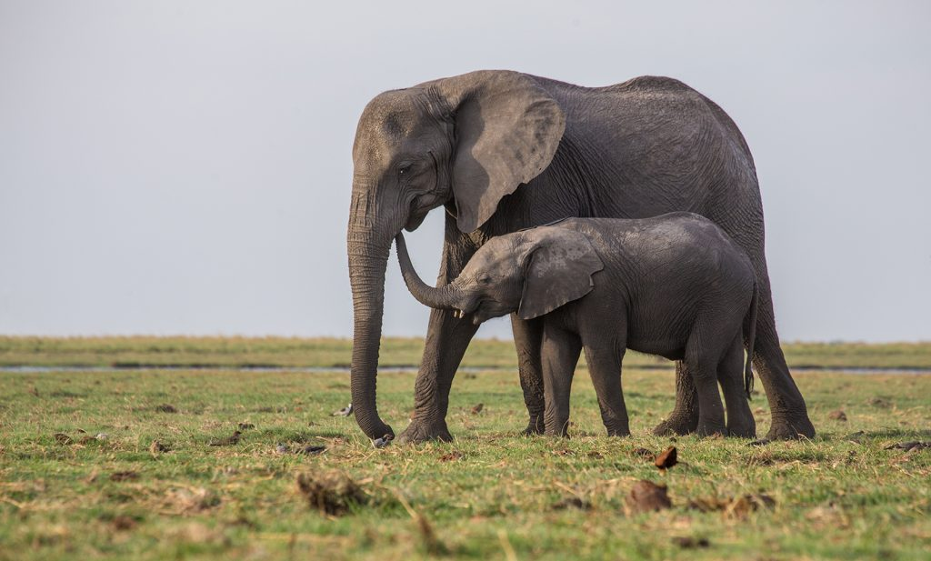 Elephant with calf, Chobe National Park, Botswana