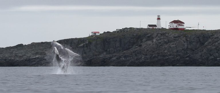 A humpback whale breaches in front of a rocky cliff with a red and white lighthouse and house on top