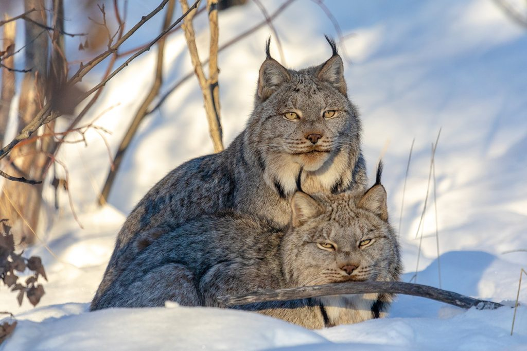 Two Canada lynx cuddle in the snow at the Yukon Wildlife Preserve