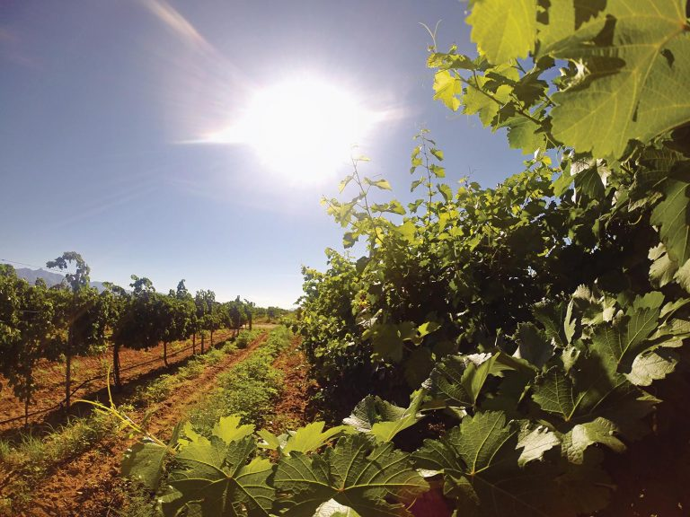 A vineyard in Arizona on a sunny day