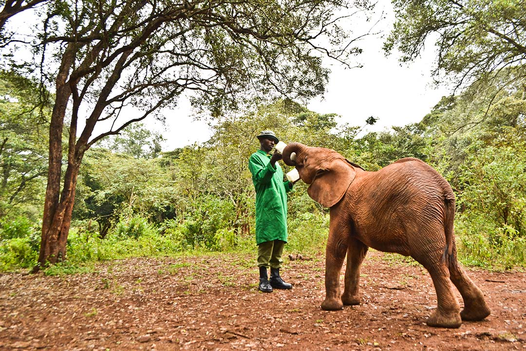 A man uses a large bottle to feed a baby elephant