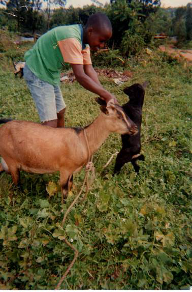 A middle aged boy helps stands with a goat in a feild.