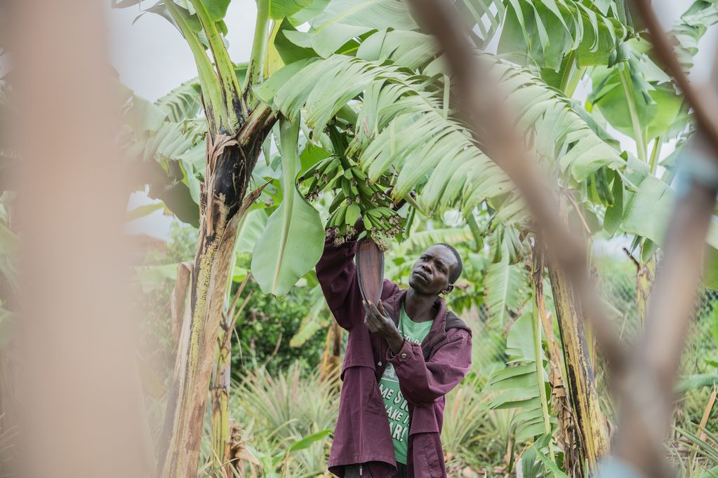A man is pictured in the forest, picking from a banana tree.