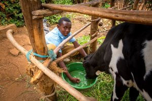 Little boy, Felix gives his cow a drink of water out of a green bucket.