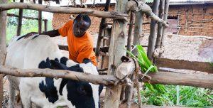 A boy in an orange shirt milks a cow.