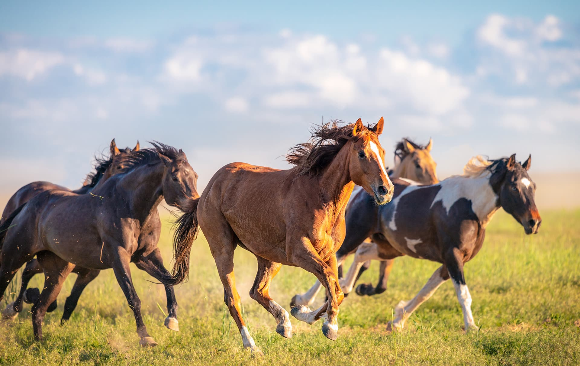 Horse running in a field at a ranch with horse & livestock insurance