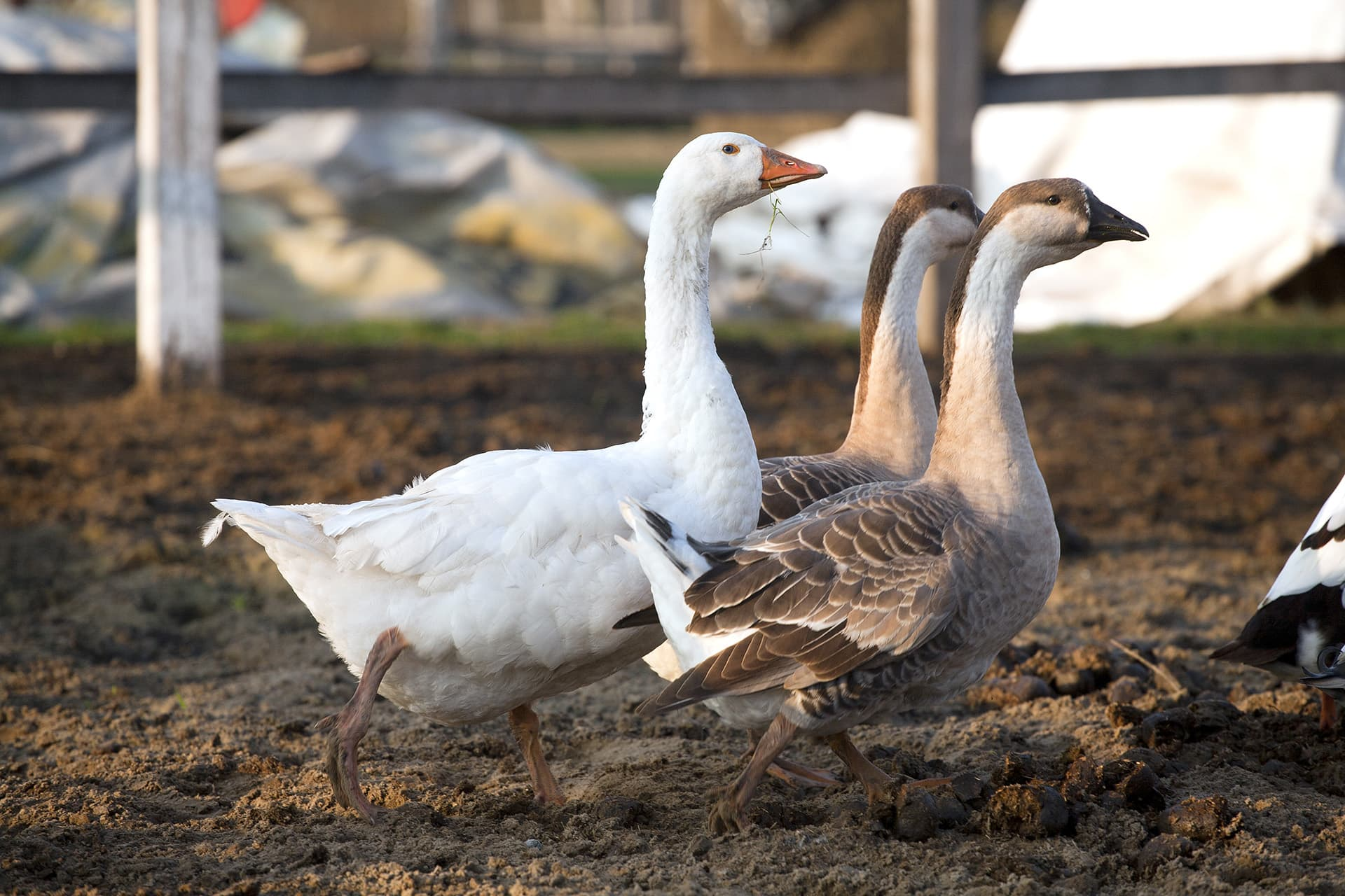 Geese on a farm with farmers insurance by type