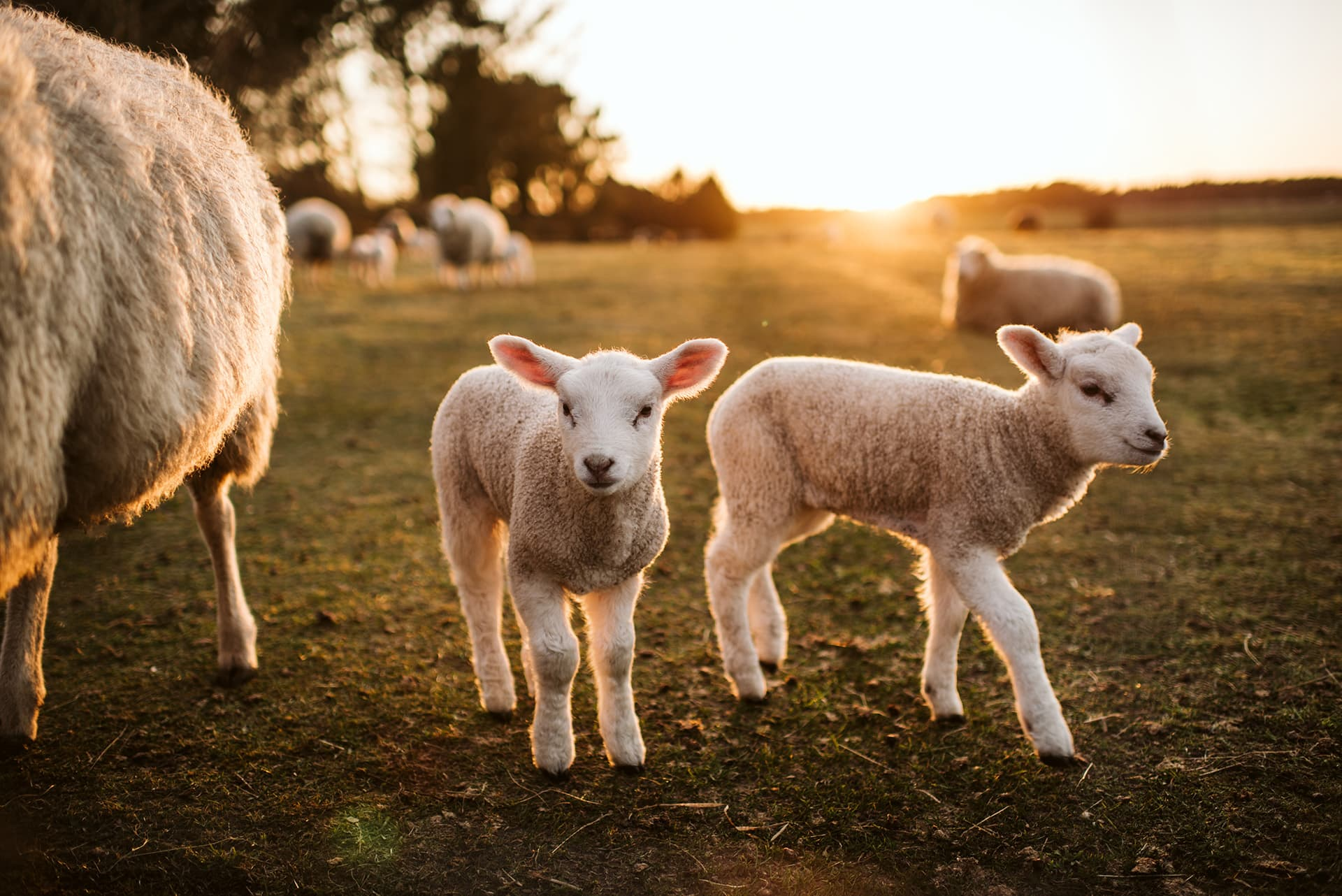 Sheep and lambs on a farm with horse & livestock insurance