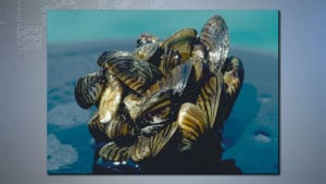 picture of several small zebra mussels