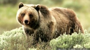 picture of a grizzly bear in the wild