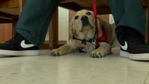 """Dog does the command """"park"""" by sitting under the seat of his handler."""