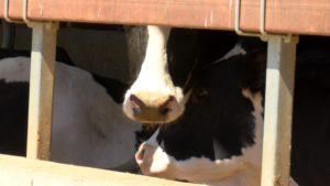 Finding solutions to the struggling dairy industry