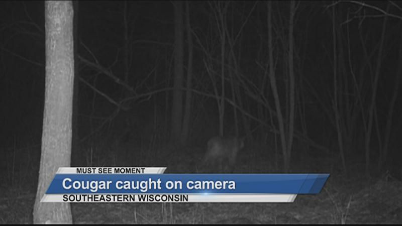 MUST SEE: Cougar caught on camera