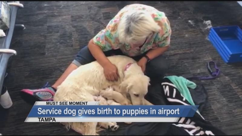 MUST SEE: Service dog gives birth to puppies in airport