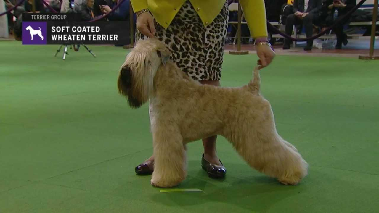 Belvidere dog handlers' dog win 'Best in Breed' at Westminster