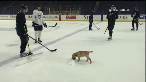 NHL hockey team plays with service dog in training