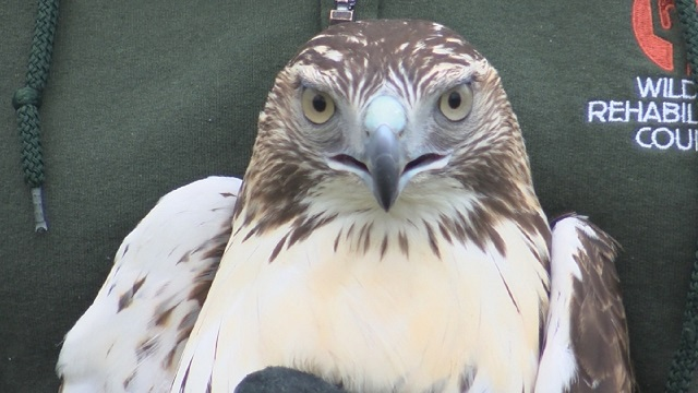 WATCH: Rescued red-tailed hawk released into wild