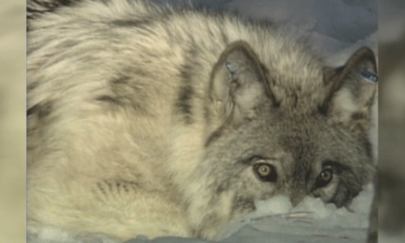 With shutdown over, scientists rush to salvage wolf study
