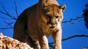 mountain lion file picture