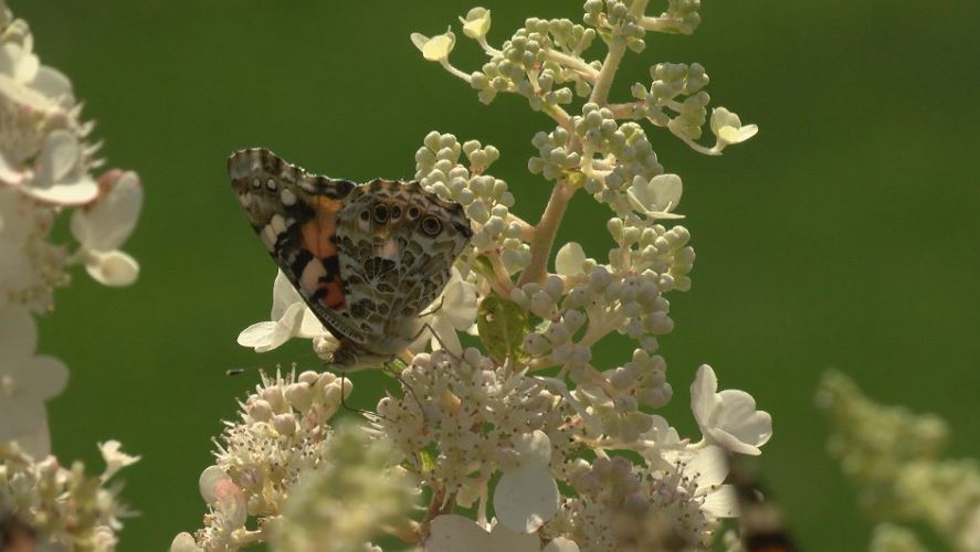 Painted Lady Butterfly perched on a flower.