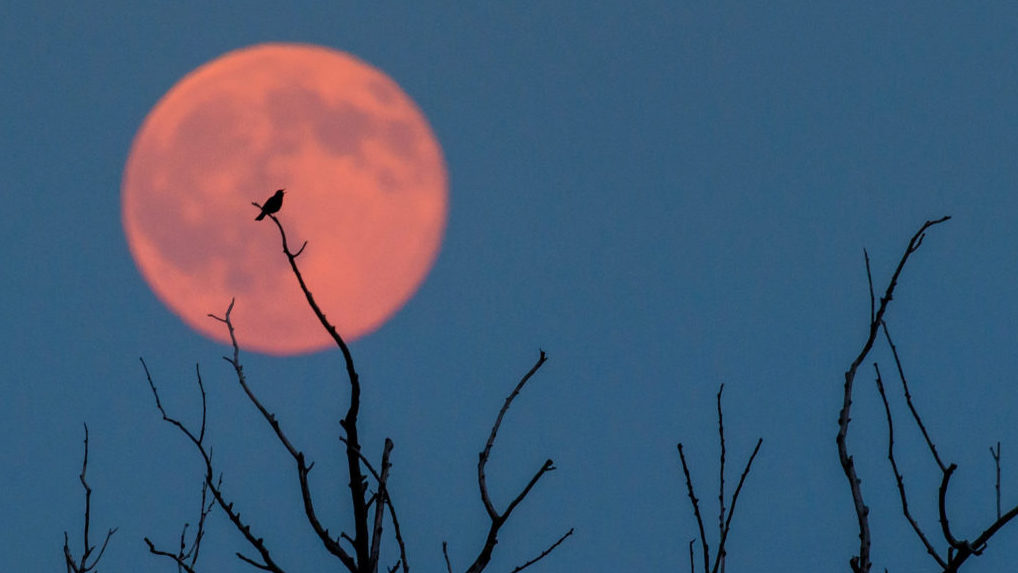 Bird sitting on a branch of a tree in front of a full moon with a slight reddish tint. The natural occurrence of the June full moon is called the Strawberry Moon. Photo by NBC/EPA/PATRICK PLEUL