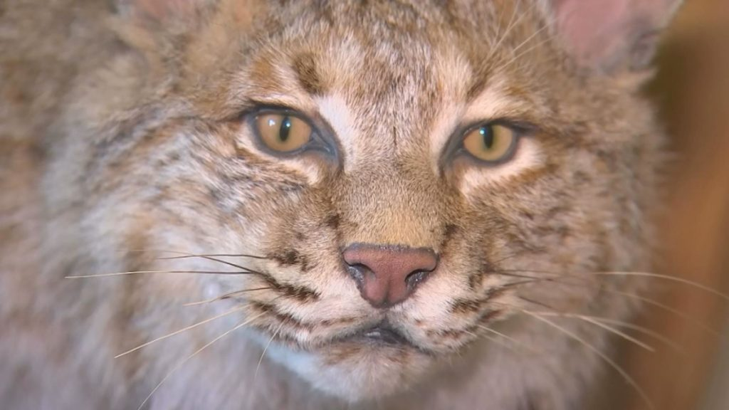 Game warden says the same bobcat was likely responsible for another earlier attack in the area