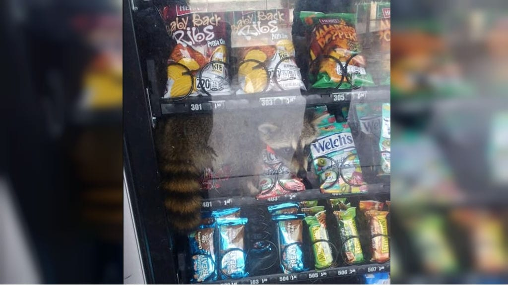 Raccoon freed after being trapped in vending machine