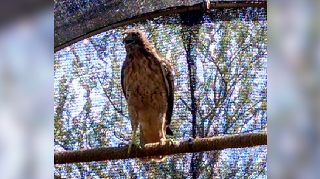 Hawk fully recovered after rescue from lightning-struck tree