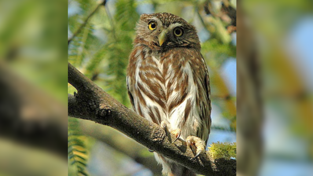 A new chance for protection for Arizona's tiny desert owl