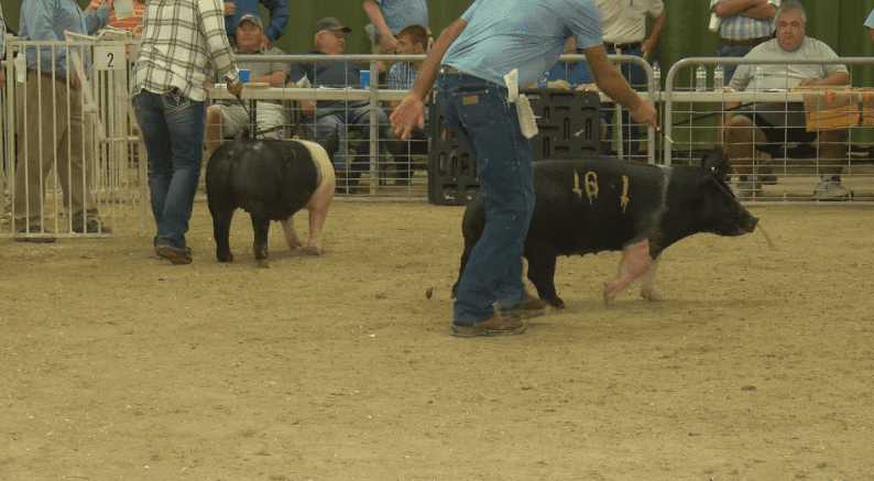 "Farmers enjoy themselves at ""World Series of Swine Shows"""