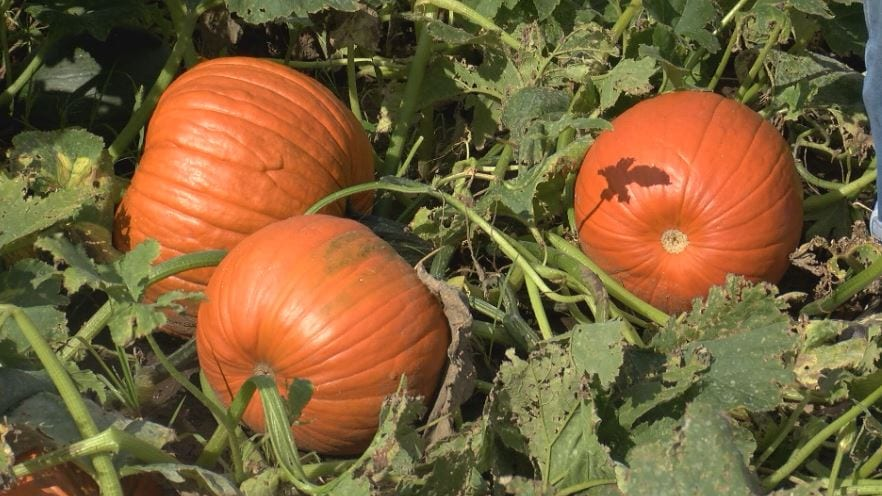 Heavy rains impact local pumpkin farmers