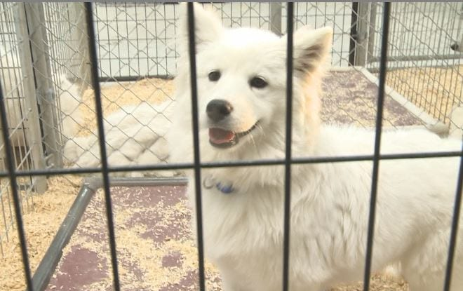 BREAKING: Nine Samoyed dogs from puppy mill rescue now in